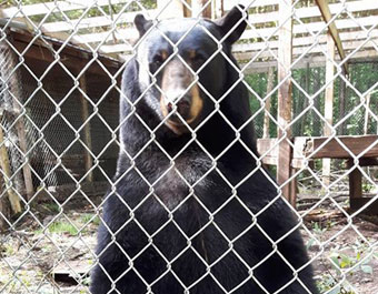 baloo-bear