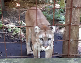 cassie-cougar