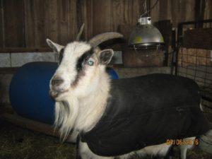 Dolly-goat-Karen-Simmons
